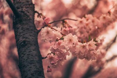 Sakura crush