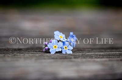 Forget Me Nots: Leelanau County, Michigan