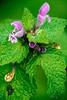 Lamium purpureum (Red Deadnettle)