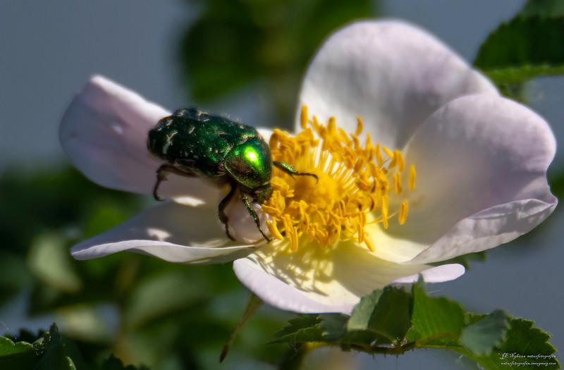 innsekt ps-079 GullbasseHårgullbasse