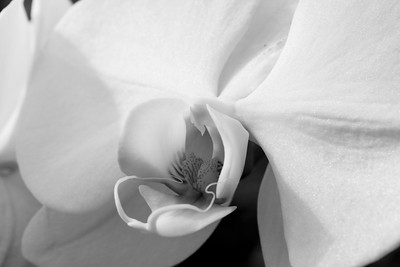 Black White Orchid_054