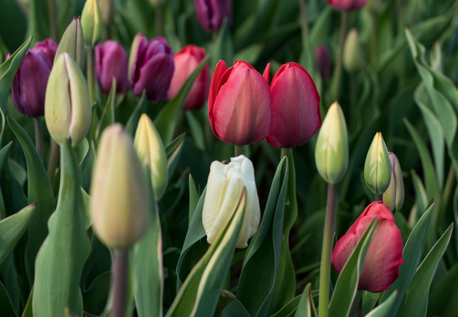 Multi-Colored Wicked Tulips_7668