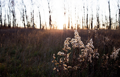 Goldenrod at Sunset: Suttons Bay, Michigan
