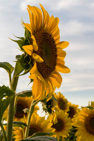 Sunflower Detail_2000