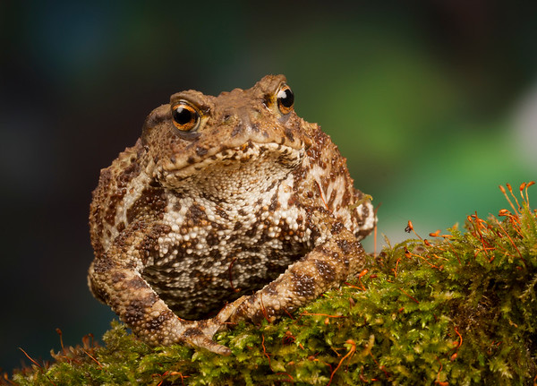 """Common Toad """"Billy"""""""