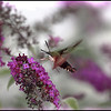 Hummingbird Moth can fool you into thinking it is a Hummingbird!