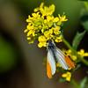 aurora sommerfugl ps-073