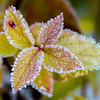 Frost-Covered Autumn Leaves 11/1/16
