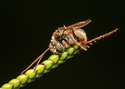 Longhorn Bee
