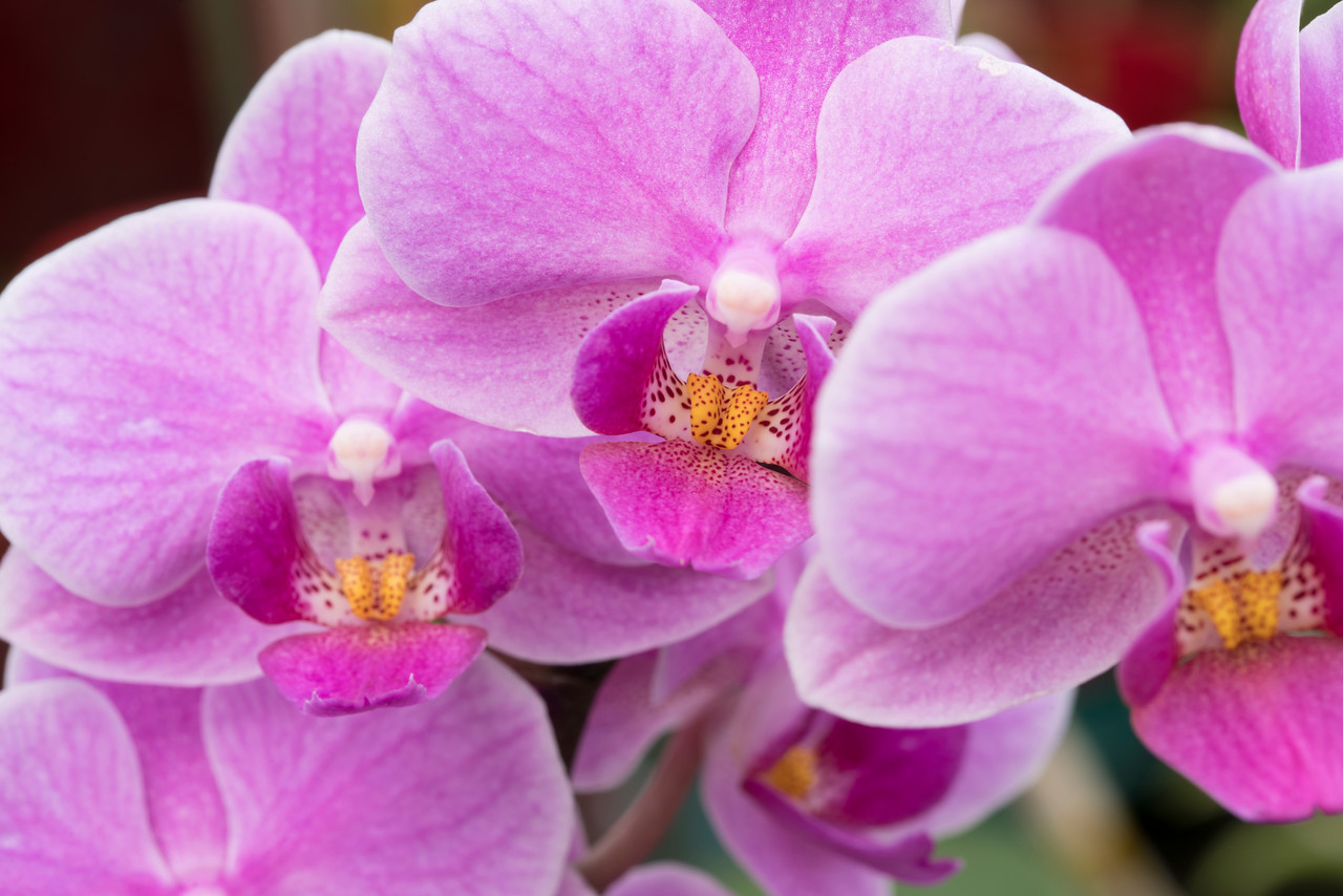 Pink Orchids_026