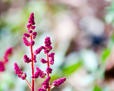 Astilbe, color macro