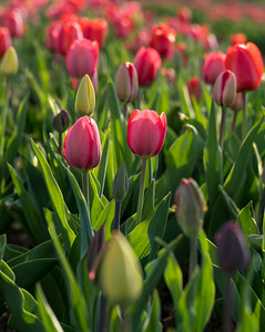 Row of  Pink Wicked Tulips_7645