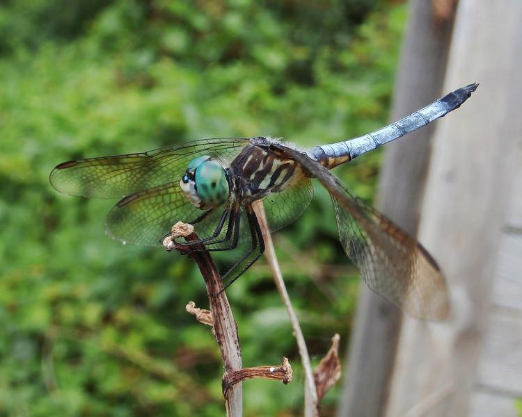 Beautiful Dragon Fly!
