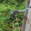 Beautiful Dragon Fly!