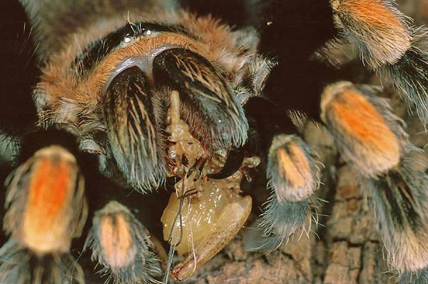 Tarantula eats a cricket