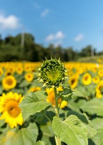Closed Sunflower 9/16/17