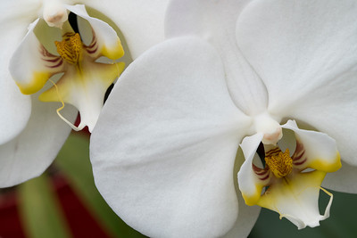 White Orchid_021