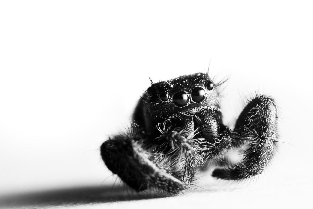 Staring Spider b&w