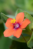 Scarlet Pimpernel (Anagallis arvensis var arvensis). 20x stack at 1.5:1 magnification with Nikon D800E & 200mm Micro-Nikkor @ f11 with 104.5mm of extension.