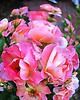 Bicentennial garden roses