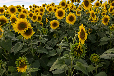 field of Sunflowers _1962
