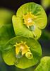 Euphorbia lathyris  (Caper Spurge)