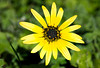 Arctotheca calendula (Cape Daisy)