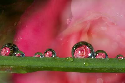 Macro mini roses