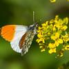 aurora sommerfugl ps-030