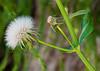 Sonchus oleraceous (Sow Thistle)