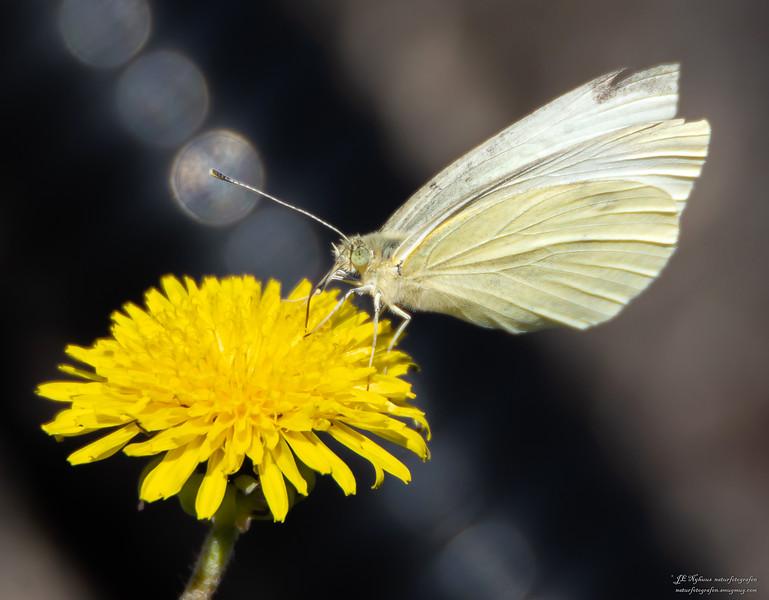 sommerfugl ps-026