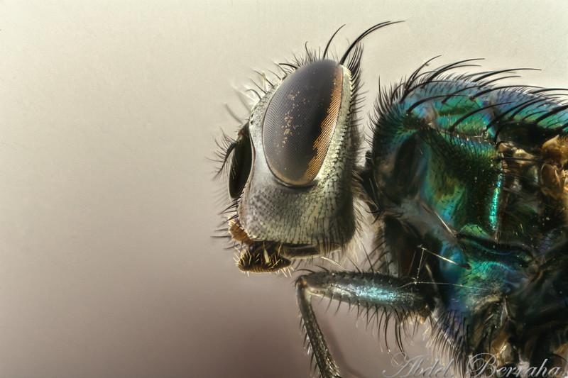 green bottle fly hf47-Edit