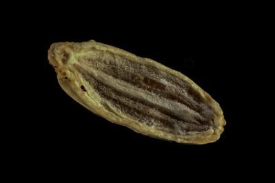 Caraway seed.