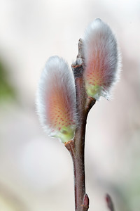 Pussy willow IMG_6599 7pic