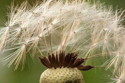 dandelion 22pic