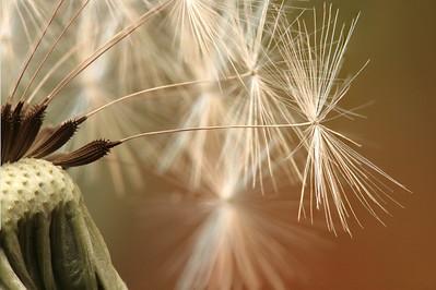 dandelion 12pic