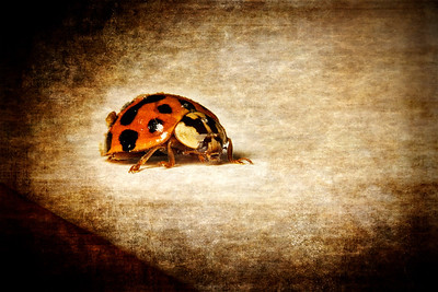 """The Ladybug"" February 17th, 2012 First time trying reverse-ring macro photography. So cool! But, WOW do I have a lot to learn."