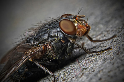 """Portrait of a Fly 2"" March 24th, 2012"