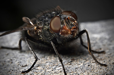 """Portrait of a Fly"" March 24th, 2012"