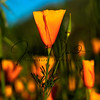 Flowers of California