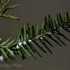 Hemlock woolly adelgid<br /> Hemlock woolly adelgid, commonly abbreviated as HWA, is a true bug native to East Asia that feeds by sucking sap from hemlock and spruce trees. Decimating the Hemlocks in Pisgah National Forest.