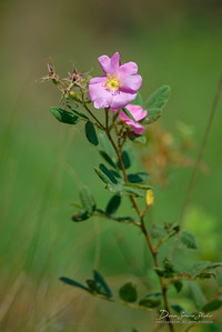 California Wildrose (Rosa Californica)