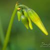 Yellow Wood Sorrel (Oxalis europaea)