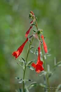 Fire Chalice (Zauschneria Californica)