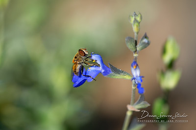 Flower Fly (Eristalis Arbustorum)