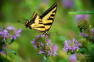 Western Tiger Swallowtail - (Pterourus rutulus)