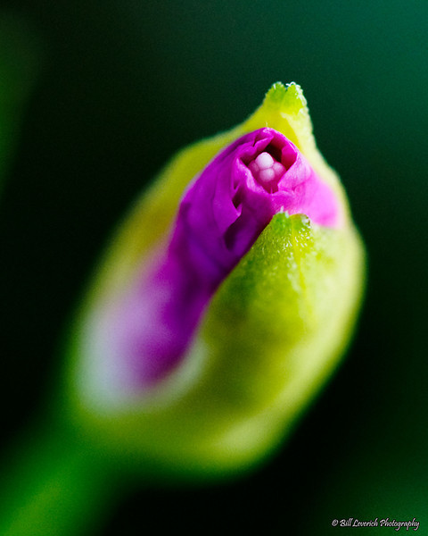 Wildflower bud
