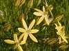 _4204368 Pretty Face - Triteleia ixoides