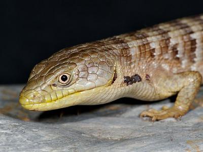 2007.05.16 Southern alligator lizard in northern California