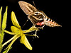070720_3800 Sphinx moth hovering while sipping from evening primrose, background removed